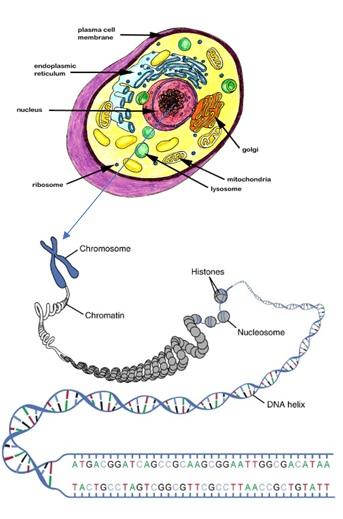 Genetic Testing Cell & Chromosomes